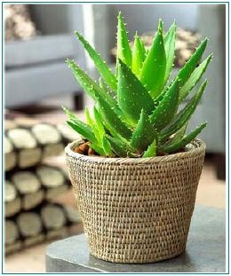 tips for summer skin care aloe vera